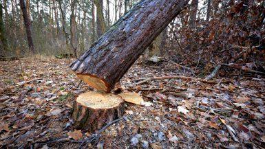 Abattage d'un arbre dangereux