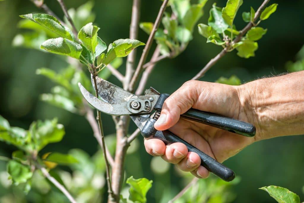 Elagage d'un arbre en taille douce au sécateur